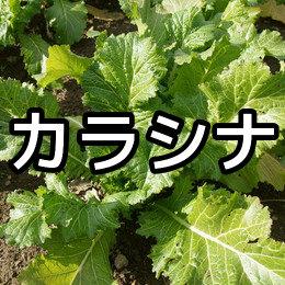 カラシナの育て方・栽培方法