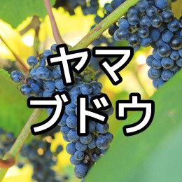 ヤマブドウの写真